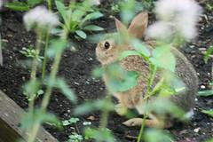 rabbit 056