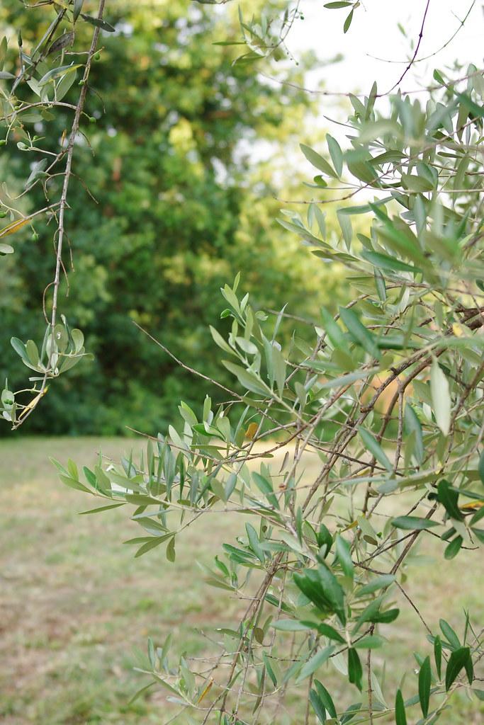L'été et les oliviers
