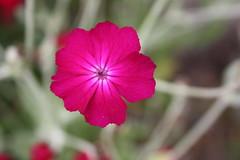 Purpur blomst (Benny Hünersen) Tags: summer flower denmark sommer have blume blomst dänemark danmark 2010 purpur odder økologisk