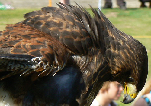Hawk (3)
