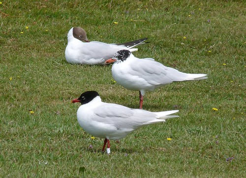 22113 - Mediterranean Gull at Bracelet Bay, Gower