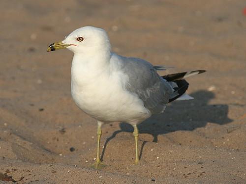 Ring-billed Gull; Larus delawarensis