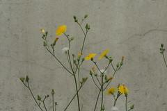 Yellow flowers (CharlesFred) Tags: europa europe sofia bulgaria balkan balcani sofya bulgaristan balcanica   southeasteurope ballkan  balkanhalbinsel    ballkanik ovejebalkan thisisthebalkans achainofwoodedmountains haemus