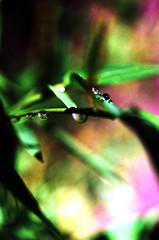 after the rain I (Knibbel) Tags: summer plants sun macro green water leaves rain droplets leaf drops soft groen pretty terrace balcony balkon fresh bamboo blad zomer tropical raindrops aftertherain zon regen tak 2010 branche bamboe potplants druppels bladeren tropisch regendruppels containerplants aprslapluie potplanten