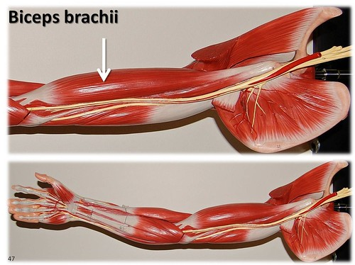 Biceps brachii, large arm model - Muscles of the Upper Extremity ...