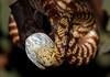 Open Wide (Reevo FNQ) Tags: nature animal snake wildlife bat australia queensland creature treesnake snakeeating undara nighttiger