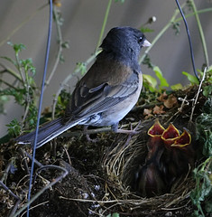 three clamoring baby juncos (axiepics) Tags: bird alex nature birds canon babies all nest feeding wildlife junco rights flowerpot reserved skelly copyright giap ef100f28 fledgelings giapaugust2010