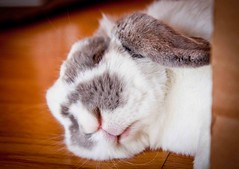 IMG_0836 (anniechuang) Tags: sleeping portrait pet cute rabbit bunny bunnies animal adorable fluffy whiskers rabbits chubby minilop lopeared