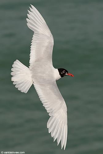 Mediterranean Gull, Adult, W[3V97]