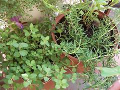 oregano, rosemary & a faded petunia