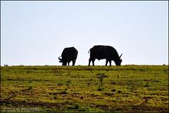 Buffalo - Syncerus Caffer (Craig Pitchers) Tags: africa nature animals fauna addo buffalo nikon 70300mm animalplanet easterncape portelizabeth sanparks synceruscaffer d90 nikon70300mm nikond90 addoelephantreserve