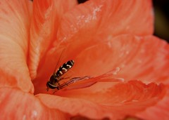 Fly on gladioli (TheUnseenScene (previously AnnerleyIRMacro)) Tags: macro animal insect living europe european critter wildlife beast animales alive creature animaux insekt animale tier hoverfly insetto insecte gladiolus brute bestie insecto bestia zoological  bete