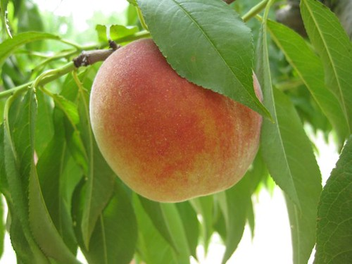 Treet Peach Picking - Peach