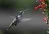 Ruby-throated Hummingbird (AllHarts) Tags: nature wildernesstrails featherweights anawesomeshot shutterbox hummingbirdphotography rubythroatedhummingbirdfemale goldwildlife strawberryplainsauduboncenter hollyspringsmississippi alittlebeauty pogchallengewinnershalloffame holycreationsofnature naturallywonderful naturespotofgoldlevel2 stunninganimalsandbirds naturespotofgoldlevel1