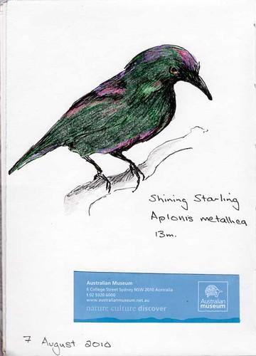 Shining Starling
