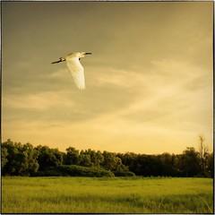Egret's Summer Breeze (AA Dagital Photography) Tags: bestcapturesaoi magicunicornverybest magicunicornmasterpiece elitegalleryaoi asquaresuperstarstemple