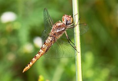 Spotwing Glider (Emery O) Tags: macro wisconsin canon dragonfly greenbay l series glider wandering manfrotto odonata 180mm 50d wanderingglider spotwingedglider pantalahymenaea 580exii macrolife