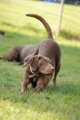 Puppies - 061 ([expletive deleted]) Tags: dogs puppies labs