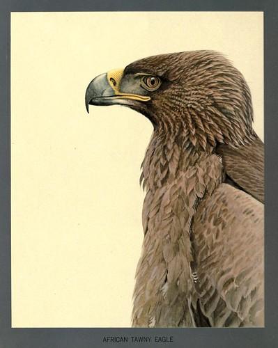 001-Aguila leonada africana-Album of Abyssinian birds and mammals 1930- Louis Agassiz Fuertes