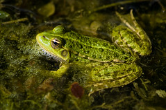 Swiss frog (Lucie et Philippe) Tags: weekend frog marais yverdon grenouille randonne champpittet mygearandmepremium mygearandmebronze mygearandmesilver