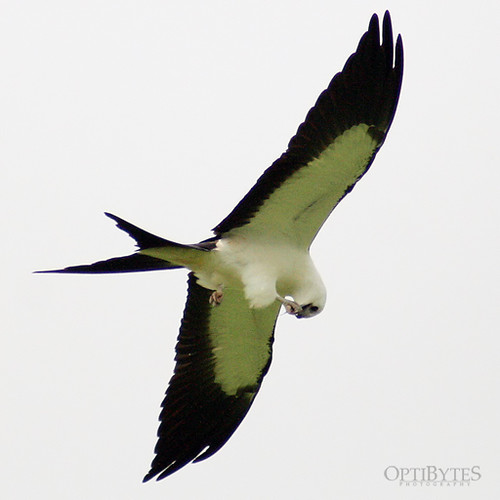 Swallow-Tailed Kite 29