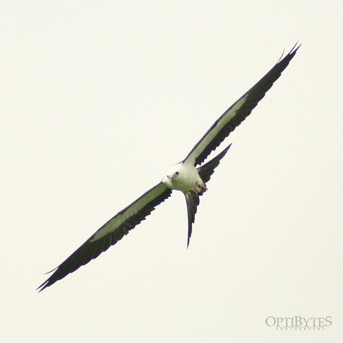 Swallow-Tailed Kite 11