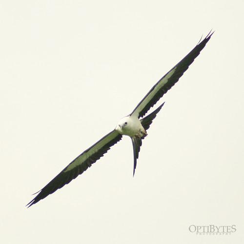 Swallow-Tailed Kite 11