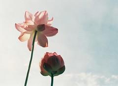 early in the morning #2 (Satomi*k) Tags: flower lotus olympuspen 横浜 三渓園 penf 始発バス 足元ぬかりまくり solaris400
