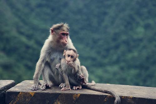 [フリー画像] 動物, 哺乳類, ヒト科, 猿・サル, 家族・親子(動物), 201008141100