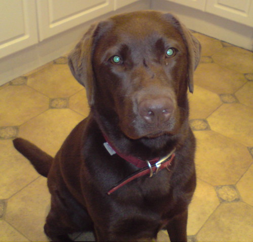 Lola - chocolate Labrador Retriever photo