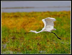 Great Egret (Rey Sta. Ana) Tags: wild white bird eye heron birds photography bay ana pics wildlife low philippines flock ducks rail kites manila rey land birdsinflight subic coron eagles dinosaurs waders cuckoo avian sta waterbirds bif palawan eastwood sunbird shrike philippine wildbirds bestshots ternate drongo mantarey coucals candaba staana avianphotography midoro 672178186 923681625 360351256 596691615 philippinebirds reysa bestimages philippinescenery birding2010 mtkalaonpark philippinebirdphotography reystaana