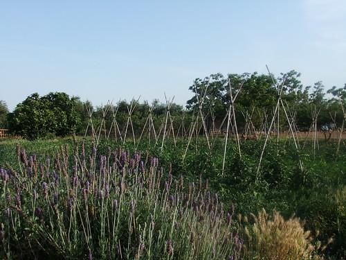 camp vinyols lavender