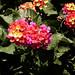 Panchromatic Petals