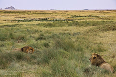 Rulers of this Land (mikel.hendriks) Tags: africa camera two male lens tanzania photo nationalpark foto brothers wildlife hunting lion pride safari lions males afrika serengeti rule association twee biggame pact leeuw mannetje broers leeuwen troep mannetjes jacht serengetinationalpark kingofanimals canonefs1785mmf456isusm canoneos50d afslaan pantheraleonubica domineren vastplains heersen koningderdieren massailion massaileeuw rulersofthisland stavingoff heersersoverditland uitgesterktevlaktes