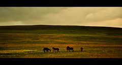 Canada (Surrealplaces) Tags: horse canada alberta prairie cowboytrail