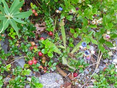 Berries (Medium)