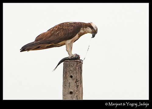 Osprey (Pandion haliaetus) feeding on fish