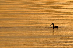 fishing on sunset (erbecke) Tags: sunset bird duck fishing chill