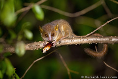 Golden-brown Mouse Lemur (Burrard-Lucas Wildlife Photography) Tags: night eating lemur madagascar primate cockroach goldenbrown mouselemur