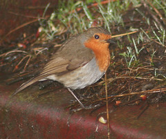 ROBIN, on rusty red. (the water watcher 05.) Tags: red summer brown green bird nature robin grass grey scotland erithacusrubecula wildlife wing beak earlymorning may feather rusty naturalhistory dew summertime canoneos350d moisture borders blackeye avian greengrass dumfriesandgalloway robinredbreast thelodge dumfriesshire langholm redcolor redcolour rustyred redtrailer farmtrailer