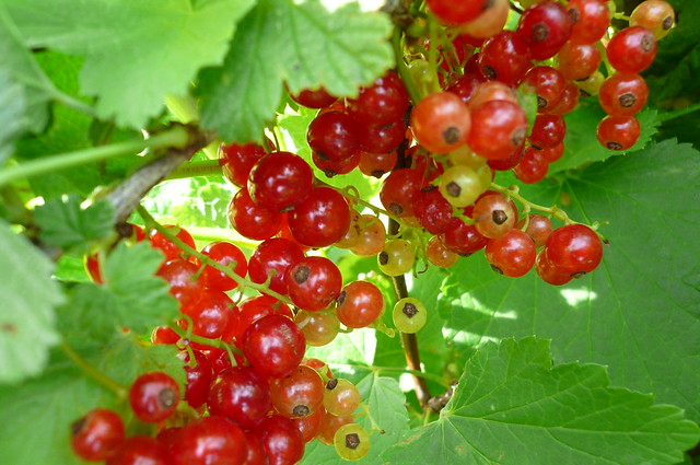 John's Red Currants
