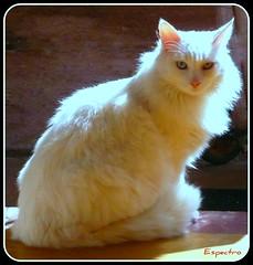 Diana (espectro) Tags: chile santiago diana gato gata felino espectro minino