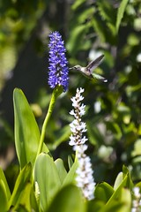 Hummingbird (Trochilidae) On Pickerelweed (Pontederia)