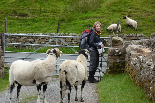 Sheep after an escape attempt