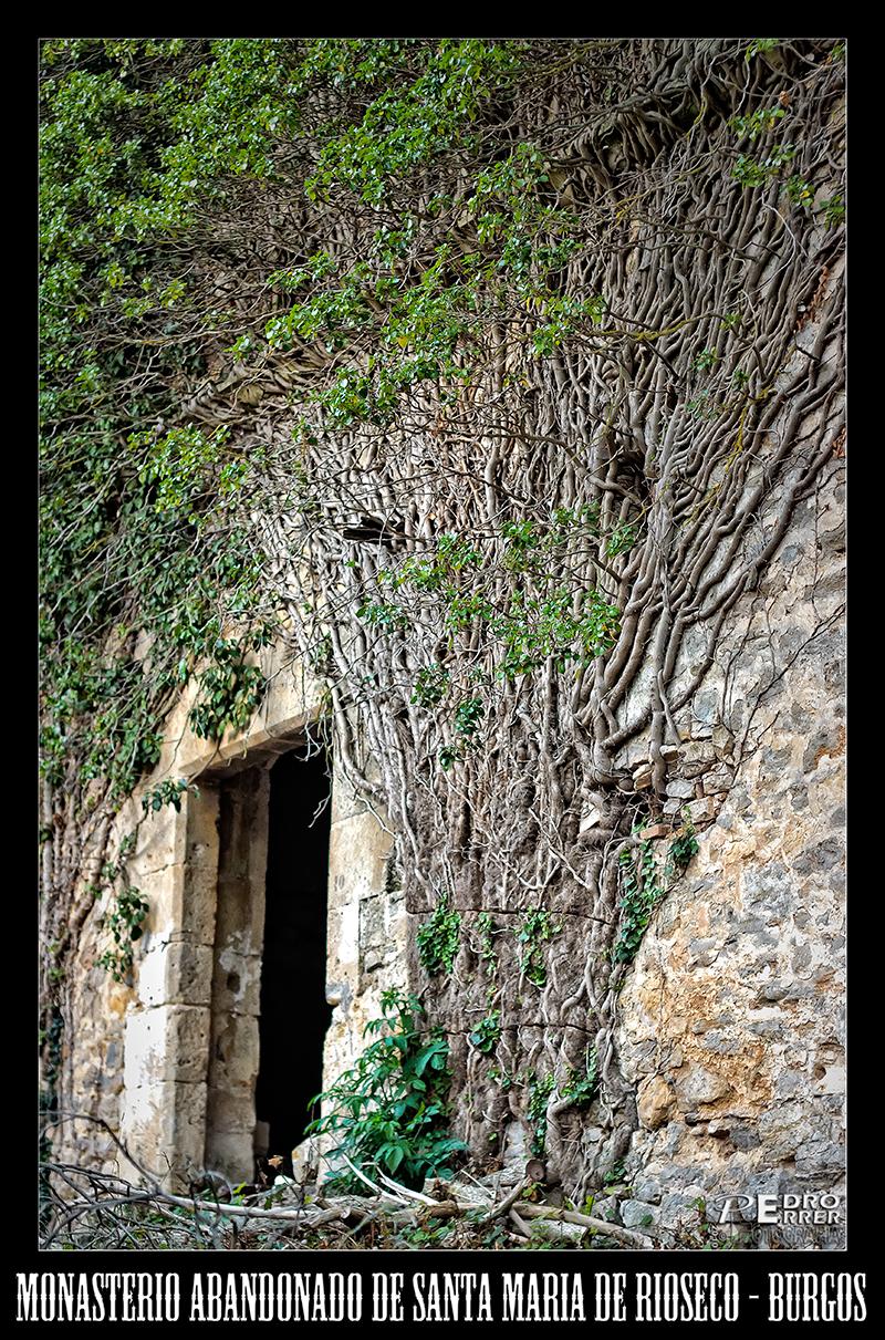Monasterio abandonado de Sta. Maria de Rioseco - Enredadera