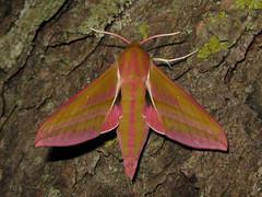 Deilephila elpenor (Male) (Lepsibu) Tags: europe lepidoptera sphingidae taxonomy:binomial=deilephilaelpenor