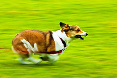running through the summer green (moaan) Tags: dog 2004 corgi july running run utata pan welshcorgi panning pochiko ef300mmf28lisusm gettyimagesjapanq1 gettyimagesjapanq2
