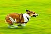 running through the summer green (moaan) Tags: dog 2004 corgi july running run utata pan welshcorgi panning pochiko ef300mmf28lisusm gettyimagesjapanq1 gettyimagesjapanq2