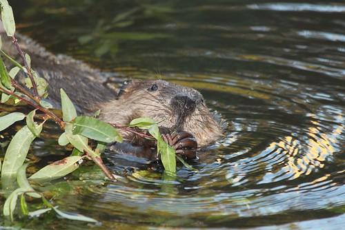 beaver by cheryl