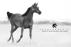 Arabian horse (Sultan alSultan ) Tags: ranch horses horse picture arab saudi arabia arabian 50 riyadh             horsessided